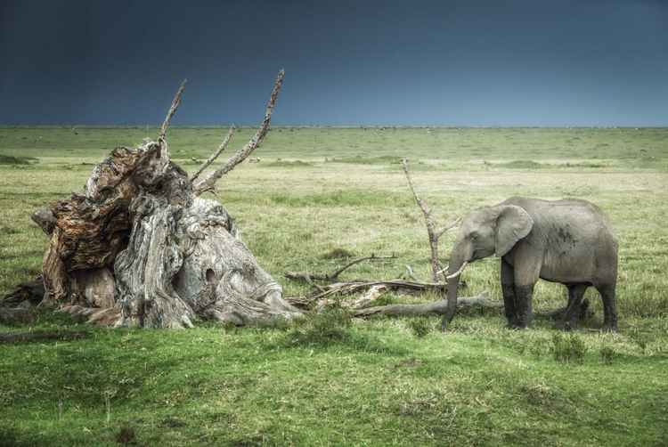 The elephant and the stump -