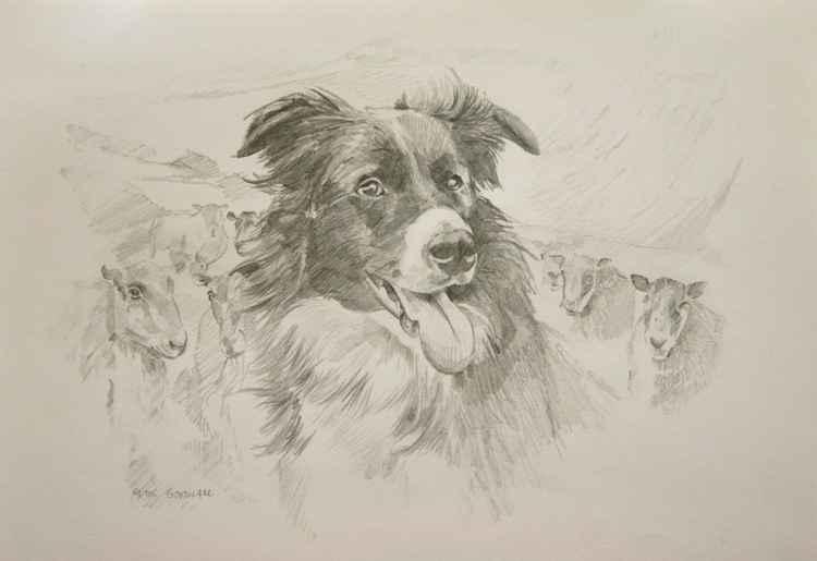 SHEEP DOG -