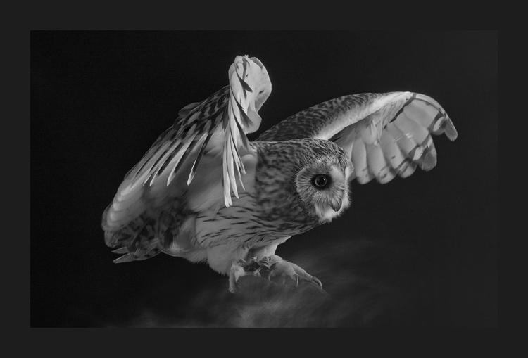 Magic Short-eared Owl - Image 0