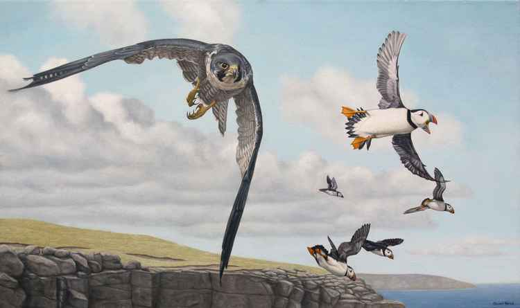 Peregrine and Puffins