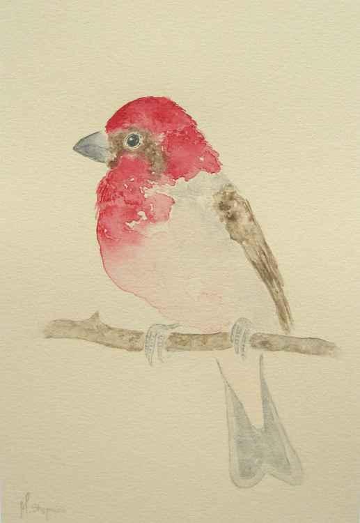 Common rosefinch -