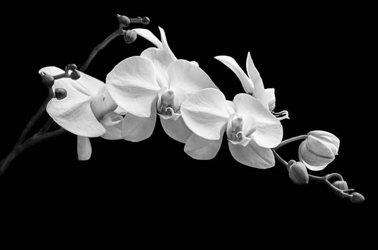Orchid No. 5 -