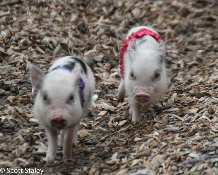 pig race -