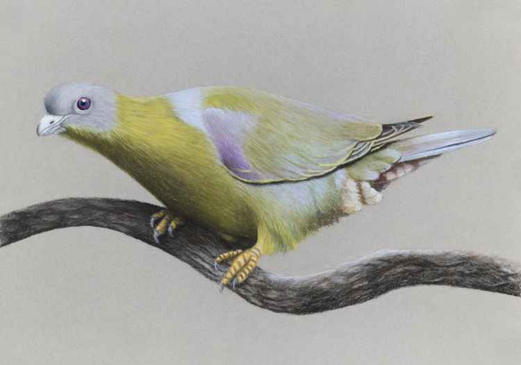 "Original pastel drawing ""Yellow-footed green pigeon"" -"