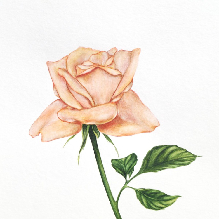 Apricot rose - Image 0