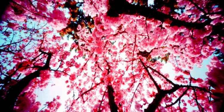 Spring Blossom Pink -