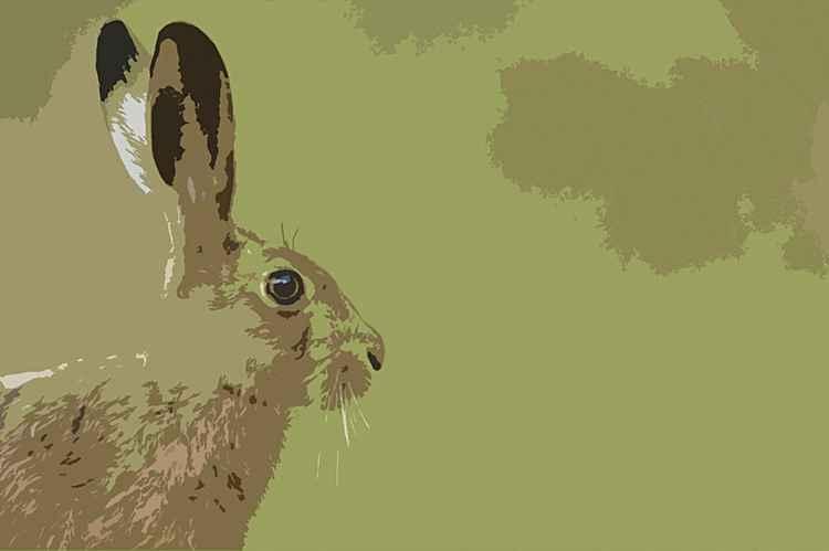 Hare -