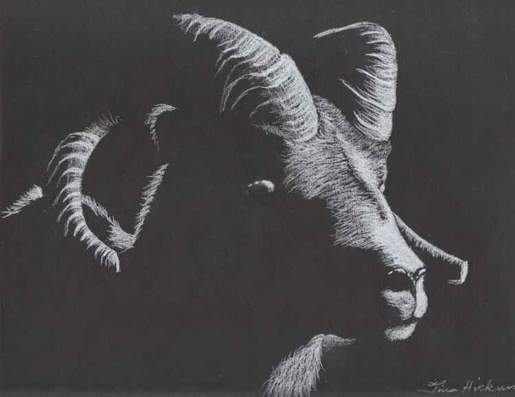 Mountain Goat -