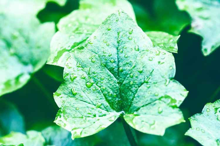 Wet Green Leaf -