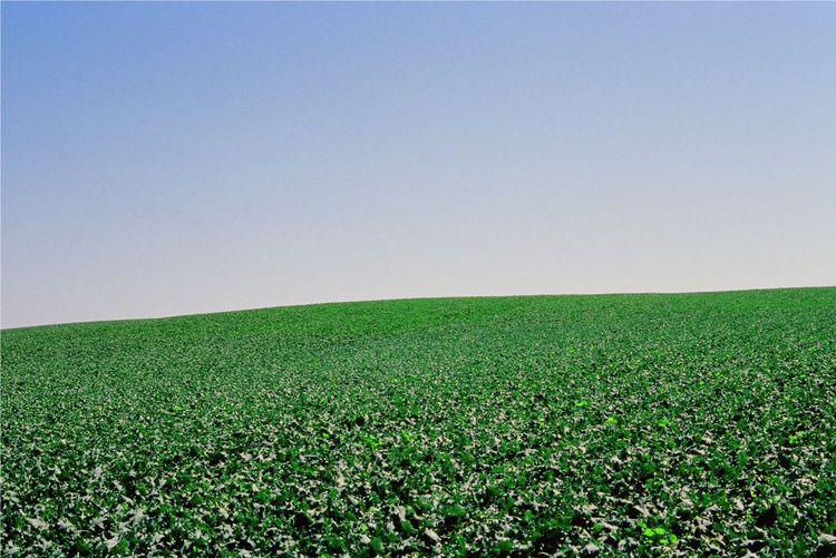 Cabbage Field - Image 0