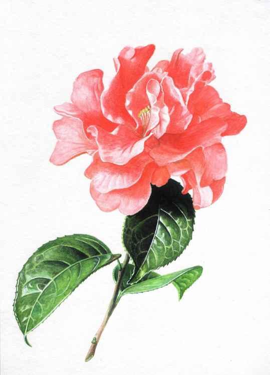 "Original watercolour pencils drawing ""Camellia reticulata"""