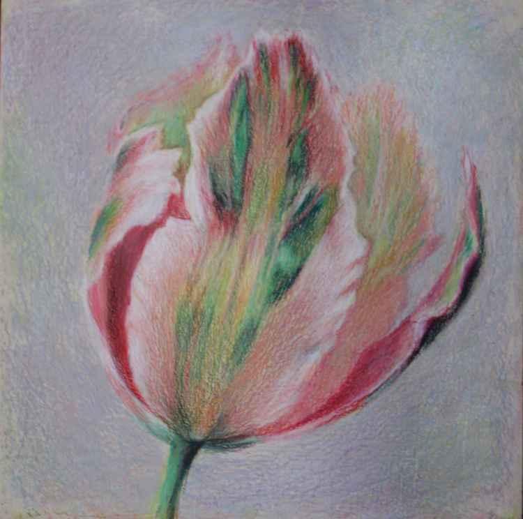 Pink tulipe -