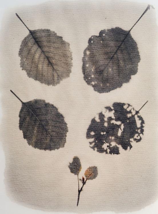 Alder tree leaves - Image 0