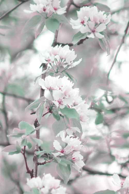Cherry Blossom V, 2015