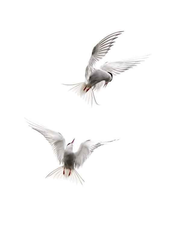Arctic Terns 1 -