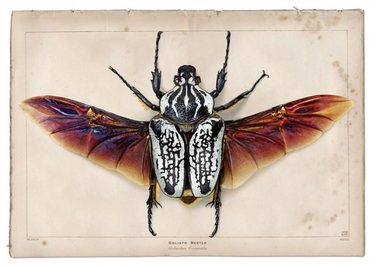 Goliath beetle - Image 0