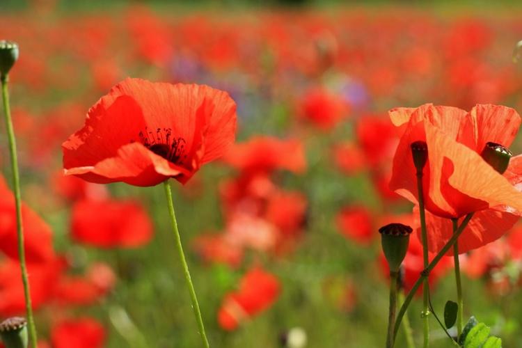 Poppy's in Provence  - Image 0