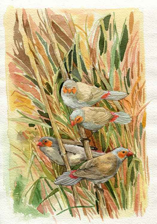 ORIGINAL WATERCOLOR Orange-Cheeked Waxbill ( Estrilda melpoda)