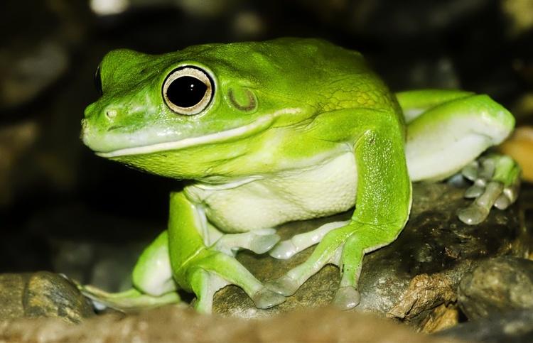 White-lipped Tree Frog, Queensland, Australia - Image 0