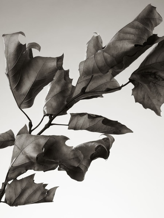 Dried Sycamore Leaves - Image 0