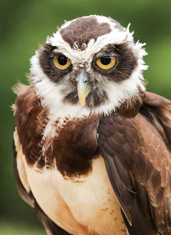Spectacled Owl -