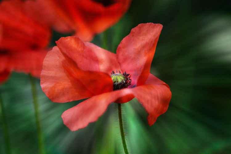 Poppy 3 (Canvas)