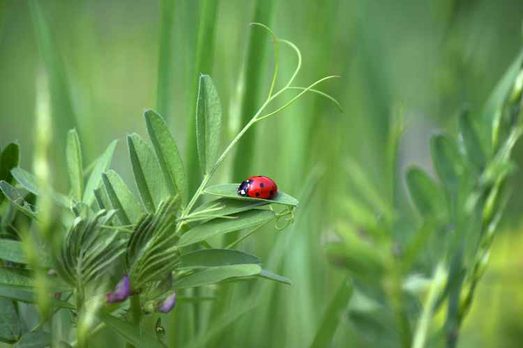 Ladybug sunbather -
