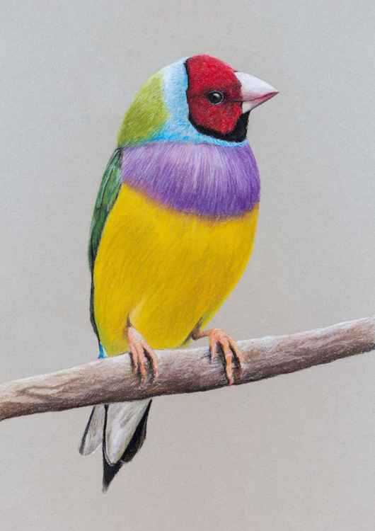 "Original pastel drawing ""Gouldian Finch"" -"