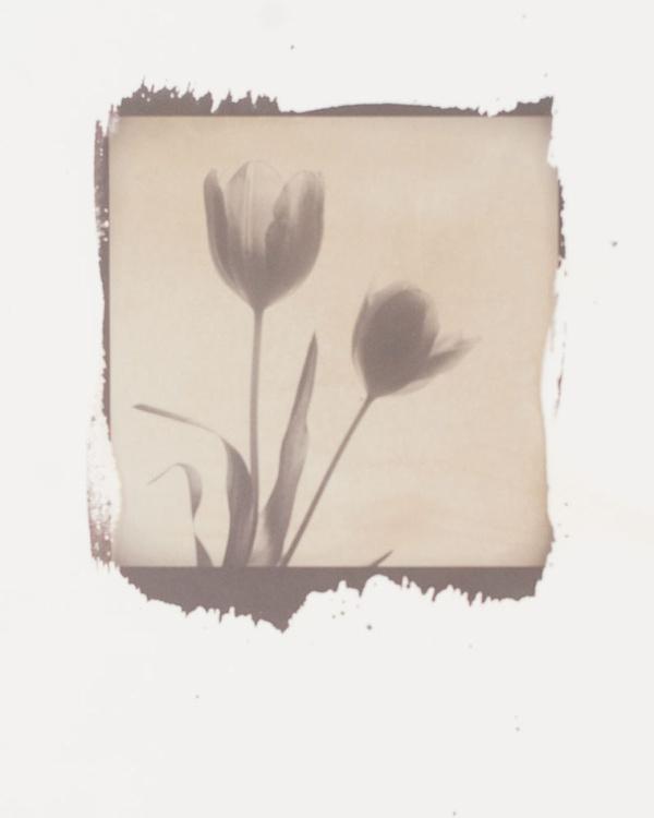Tulip - 2 - Image 0