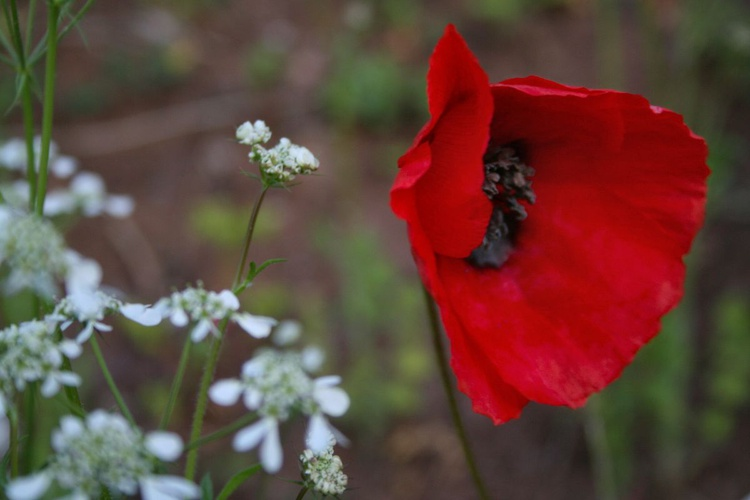 Wind in poppies - Image 0