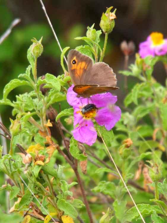 Meadow Brown -