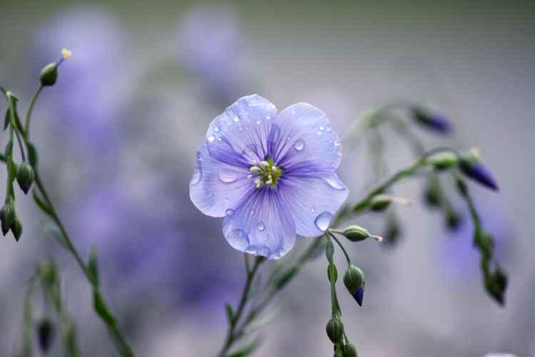 Wet blue flax -