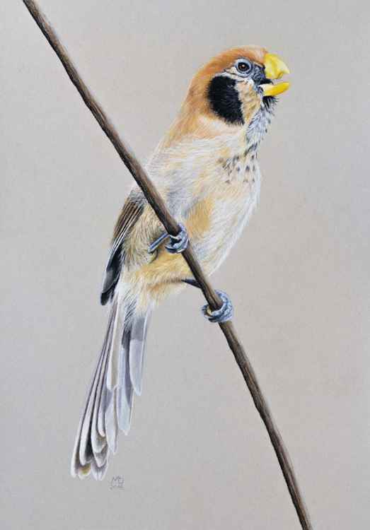 "Original pastel drawing ""Spot-breasted Parrotbill"" -"