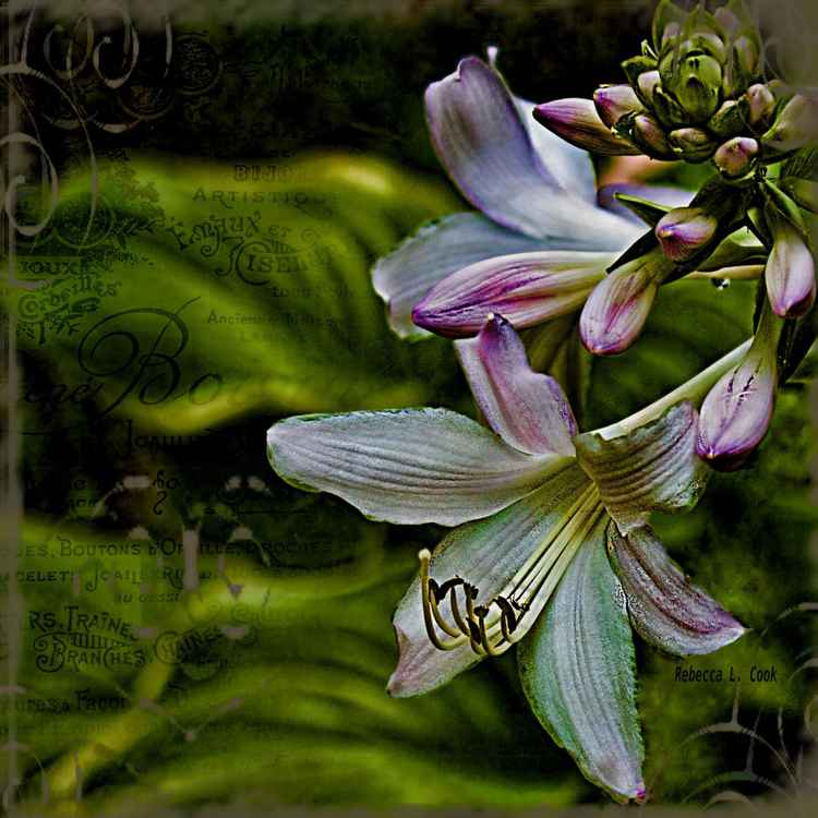 HOSTA LILIES WITH TEXTURE