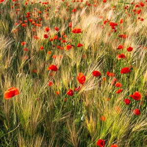 Poppy Meadow  - Limited Edition Print by Ben Robson Hull