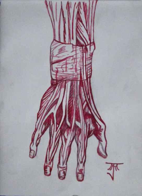 Hand Muscle Anatomy -
