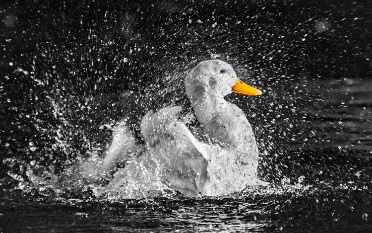 Pekin Duck  - Limited Edition Print - Image 0
