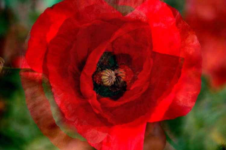 Poppy 2 (Paper)