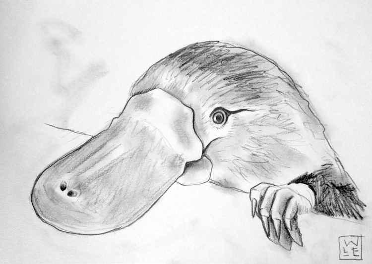 Duckbilled Platypus -