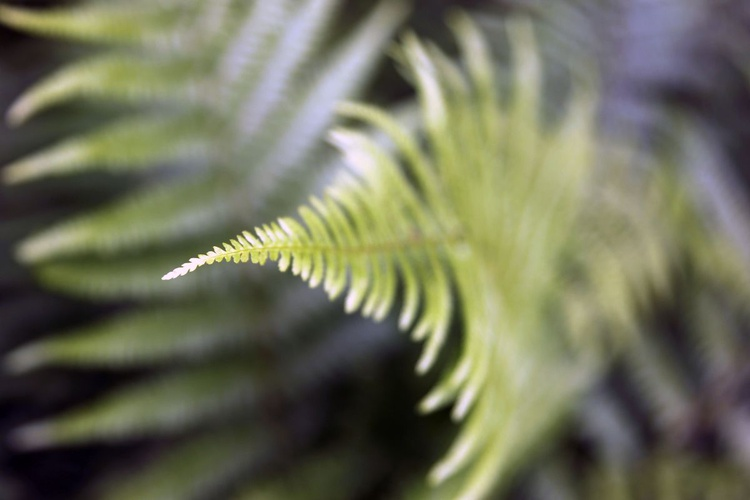 Fine art nature photography - Fern Abstract - Image 0