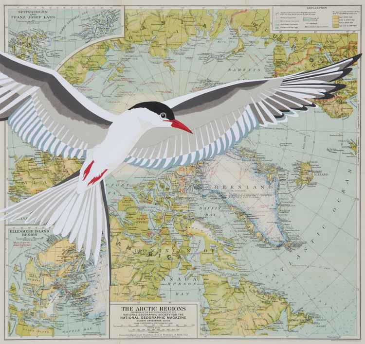 ARCTIC TERN IN FLIGHT -