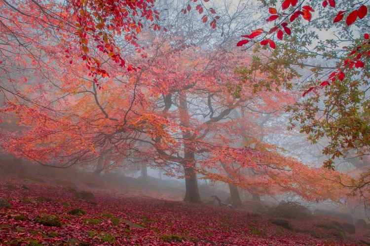 Autumn Beech - Limited Edition Print - Image 0