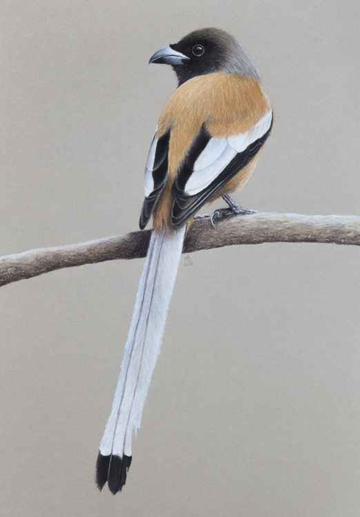 "Original pastel drawing ""Rufous treepie"" -"