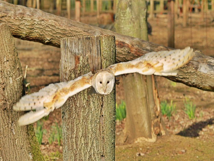 Barn Owl on the Hunt - Image 0
