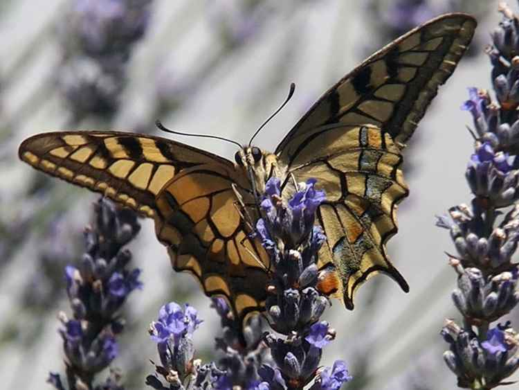 Old World Swallowtail No. 2 -