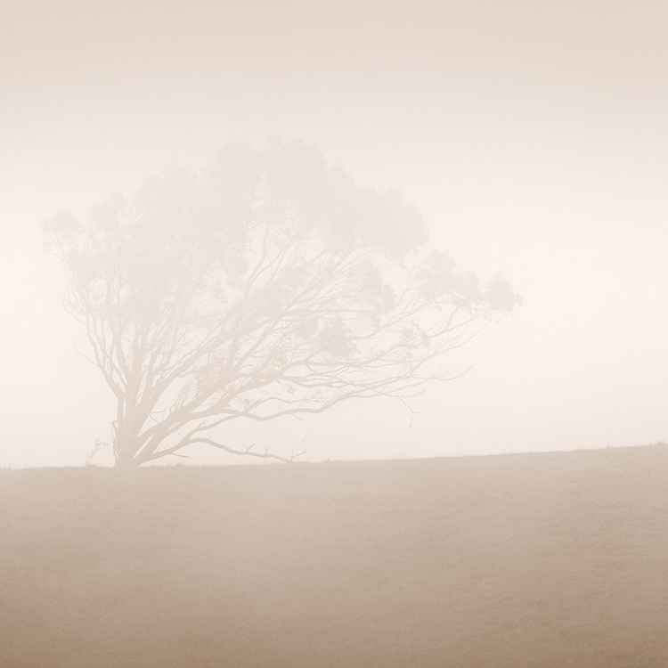 Sonoma Cypress in Fog -