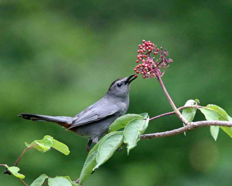 Catbird snacking Fruit
