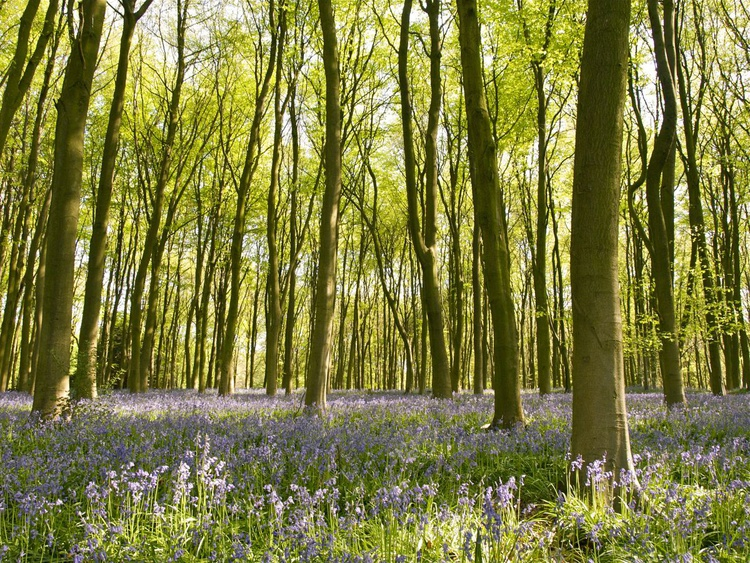 Bluebells of Micheldever Woods - Image 0