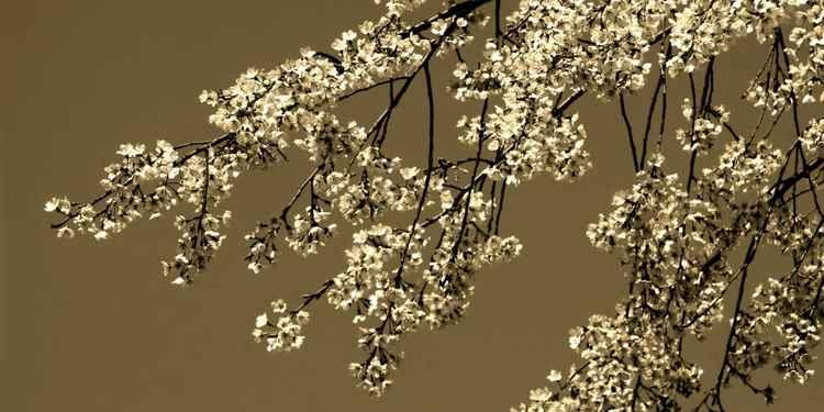 Cherry Blossom Sepia