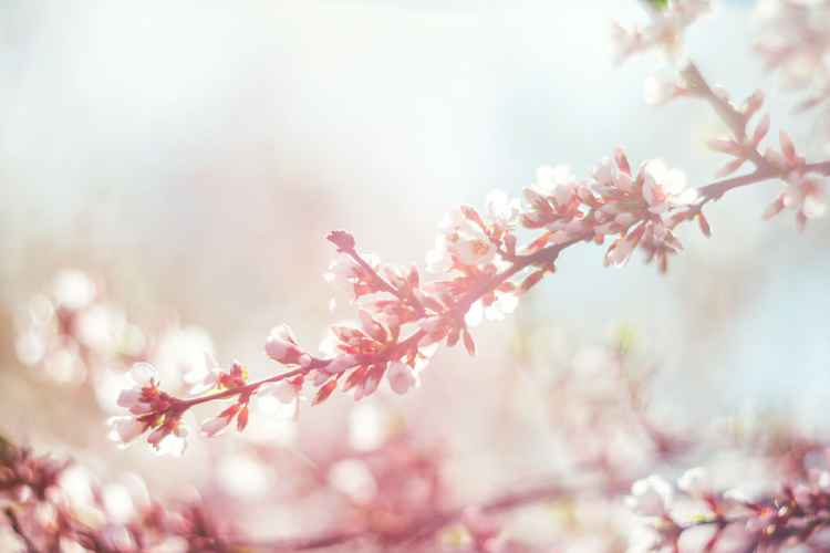 Cherry Blossom VI, 2016 -
